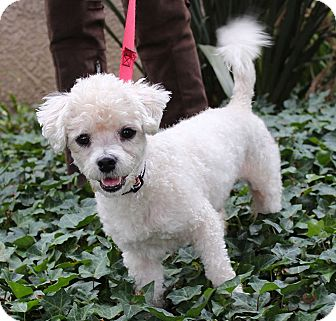 Maltese/Poodle (Miniature) Mix Dog for adoption in Encino, California - Johnny