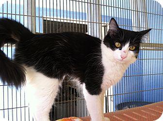 Domestic Mediumhair Kitten for adoption in Newport Beach, California - Anna