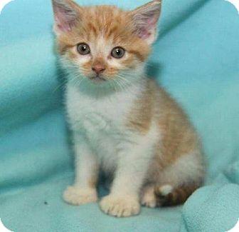 Hemingway/Polydactyl Kitten for adoption in Orland Park, Illinois - Donovan