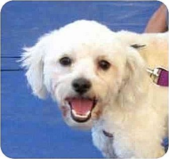 Poodle (Miniature)/Bichon Frise Mix Puppy for adoption in Downey, California - Cameron