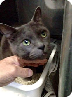 Russian Blue Cat for adoption in THORNHILL, Ontario - Gris