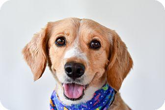 Cocker Spaniel/Beagle Mix Dog for adoption in Edmonton, Alberta - Aussie