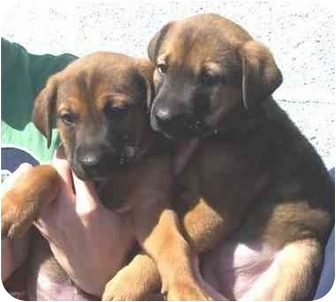 Labrador Retriever/Rottweiler Mix Puppy for adoption in West Los Angeles, California - Noble