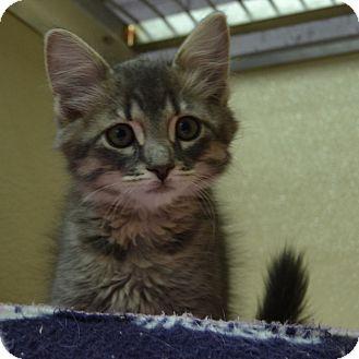 Domestic Mediumhair Kitten for adoption in Wheaton, Illinois - Joey