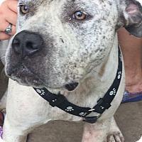Adopt A Pet :: abel - hollywood, FL