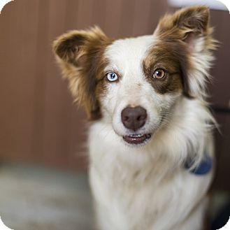 Australian Shepherd Mix Dog for adoption in Severance, Colorado - LEFTY