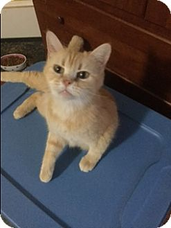 Persian Cat for adoption in Winchester, Kentucky - Sissy