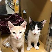 Adopt A Pet :: Gabriel - Scottsdale, AZ