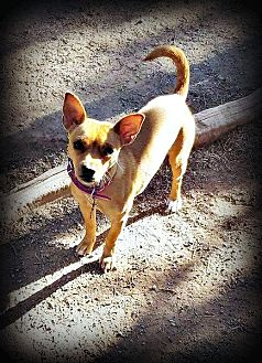 Chihuahua Mix Dog for adoption in Tijeras, New Mexico - Rue