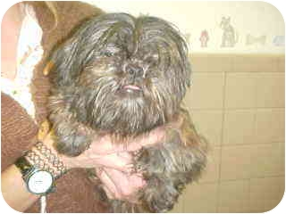 Shih Tzu Dog for adoption in Westport, Connecticut - Molly
