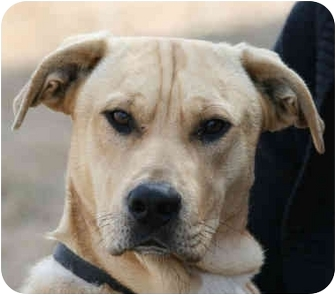 Labrador Retriever/Shepherd (Unknown Type) Mix Dog for adoption in kennebunkport, Maine - Hutch-ADOPTED!