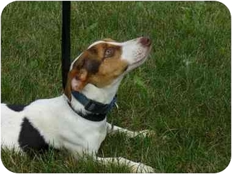 Jack Russell Terrier Dog for adoption in Marysville, Ohio - Stella
