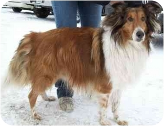 Collie Dog for adoption in North Judson, Indiana - Bentley