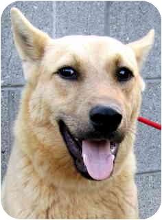 Husky/Shepherd (Unknown Type) Mix Dog for adoption in Los Angeles, California - Kodiak