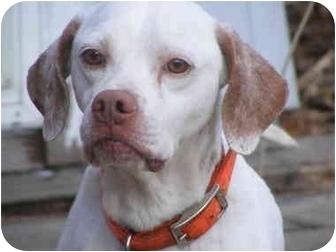 Pointer Dog for adoption in Toledo, Ohio - SONNY