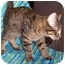 Photo 2 - Domestic Shorthair Kitten for adoption in Murphysboro, Illinois - Bean