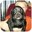 Photo 2 - Boston Terrier/Dachshund Mix Puppy for adoption in Flint, Michigan - Merri