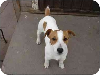 Jack Russell Terrier Dog for adoption in West Los Angeles, California - Jack