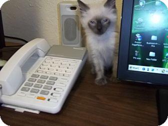 Siamese Kitten for adoption in Fort Lauderdale, Florida - Misti