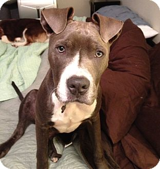 American Pit Bull Terrier/Great Dane Mix Puppy for adoption in Seattle, Washington - Sky