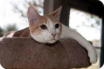 Domestic Shorthair Cat for adoption in New Port Richey, Florida - Dakota