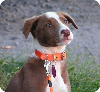 Labrador Retriever/Whippet Mix Puppy for adoption in Rigaud, Quebec - Jersey