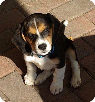 Beagle Puppy for adoption in Portland, Oregon - Zorro