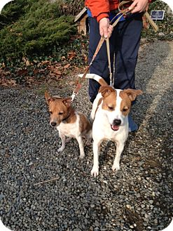 Jack Russell Terrier Mix Dog for adoption in Rhinebeck, New York - Nyla