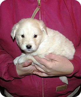 Golden Retriever Mix Puppy for adoption in Morgantown, West Virginia - Golden Ret puppies