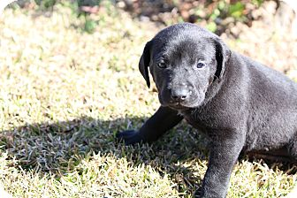 Labrador Retriever Mix Puppy for adoption in Baton Rouge, Louisiana - Felicity