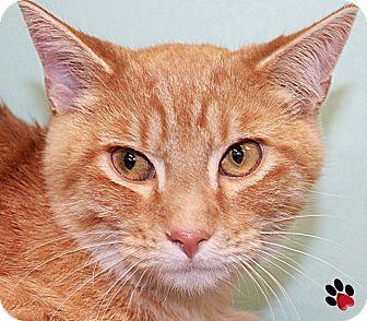 Domestic Mediumhair Cat for adoption in Branson, Missouri - Joon