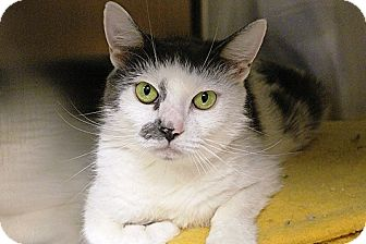 Domestic Shorthair Cat for adoption in Worcester, Massachusetts - Beatrix