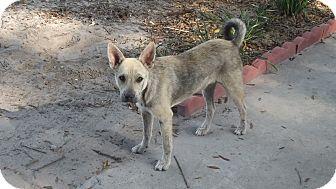 Shepherd (Unknown Type)/American Bulldog Mix Puppy for adoption in Chiefland, Florida - Modi