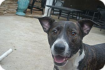 Plott Hound Mix Dog for adoption in Houston, Texas - Baxter
