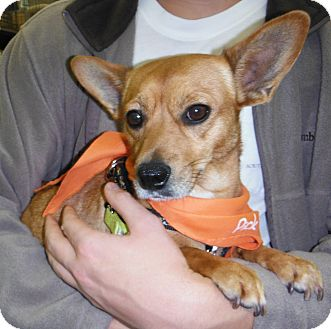 Chihuahua/Corgi Mix Dog for adoption in Manhattan, Kansas - Bailey