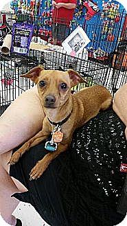 Rat Terrier/Dachshund Mix Dog for adoption in Phoenix, Arizona - Dexter