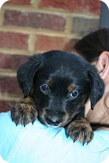 Golden Retriever Mix Puppy for adoption in Brattleboro, Vermont - Martha
