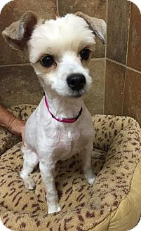 Poodle (Miniature)/Lhasa Apso Mix Dog for adoption in Rochester Hills, Michigan - Popcorn