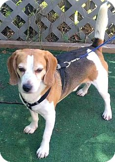 Beagle Dog for adoption in Bronx, New York - Otis