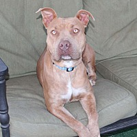 American Staffordshire Terrier Mix Dog for adoption in Toluca Lake, California - Mariah
