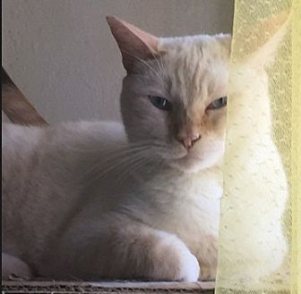 Siamese Cat for adoption in Los Angeles, California - Sam