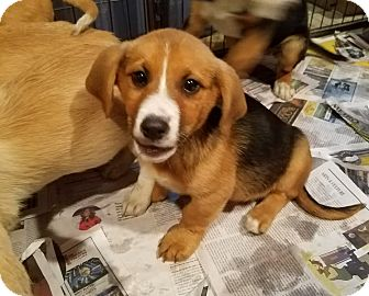 Corgi/Beagle Mix Puppy for adoption in Chicago, Illinois - D.J*ADOPTED!*