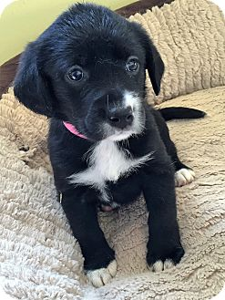 Labrador Retriever Mix Puppy for adoption in Waldorf, Maryland - Kimber