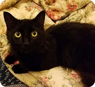 Domestic Mediumhair Cat for adoption in Cleveland, Ohio - Onyx