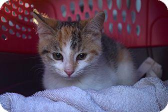 Domestic Shorthair Kitten for adoption in Flushing, Michigan - Fergie