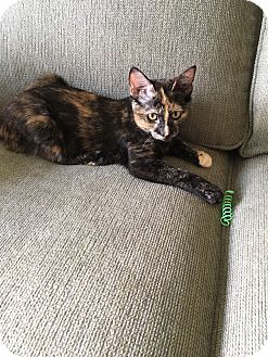 Domestic Shorthair Cat for adoption in Middleton, Wisconsin - Rebecca