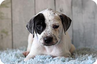 Pointer Mix Puppy for adoption in Waldorf, Maryland - Garth