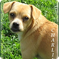 Adopt A Pet :: Charlie- STOP!  LOOK! - Marlborough, MA