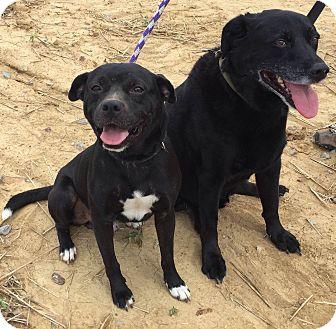 Pug Mix Dog for adoption in Boston, Massachusetts - Rob
