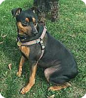 Miniature Pinscher Dog for adoption in Columbus, Ohio - Toby